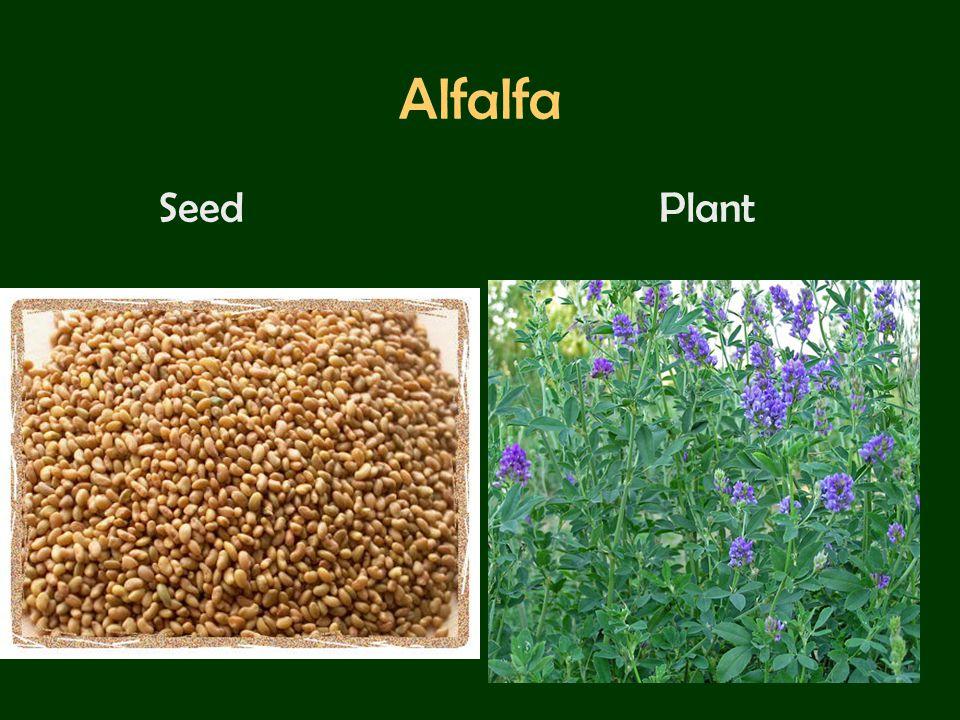 Alfalfa Seed Plant