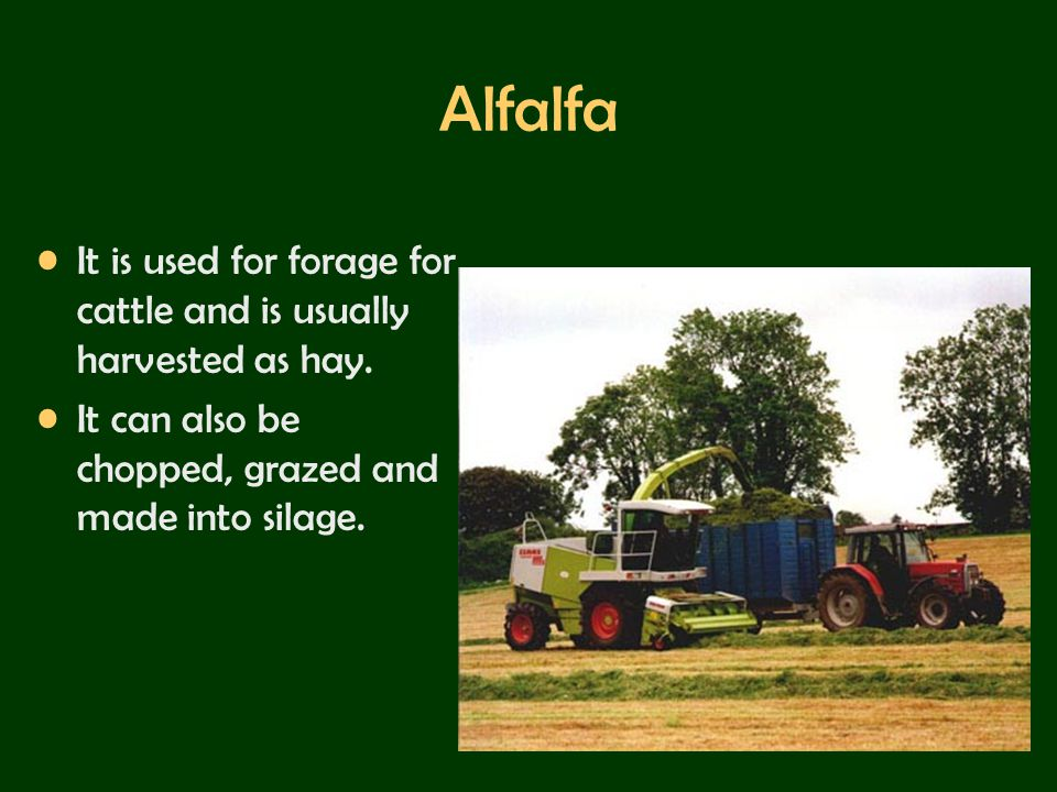 Alfalfa It is used for forage for cattle and is usually harvested as hay.