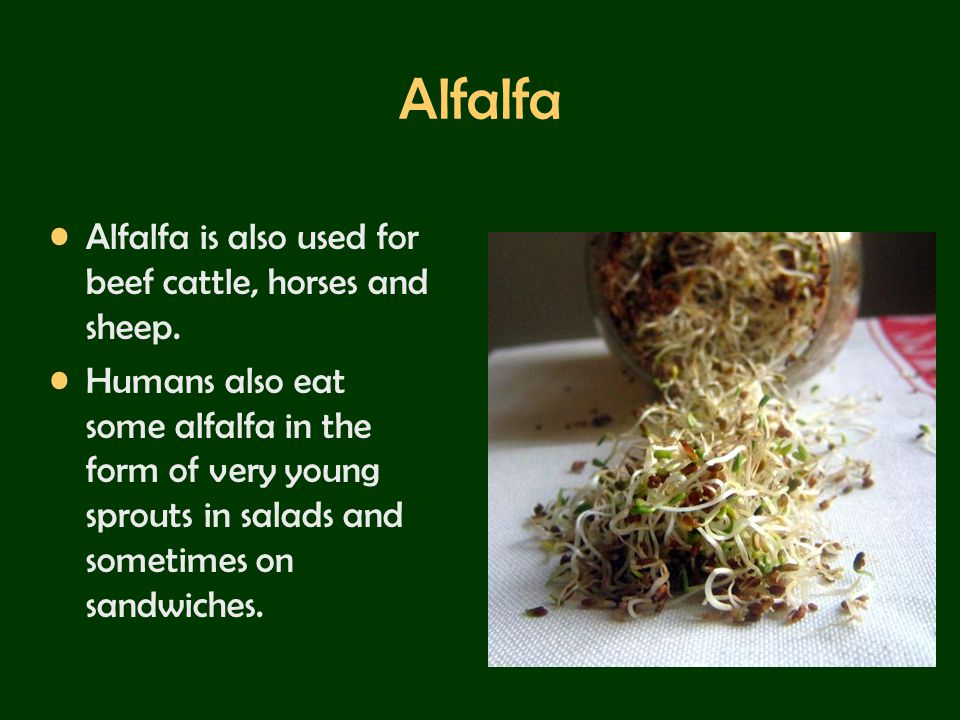 Alfalfa Alfalfa is also used for beef cattle, horses and sheep.