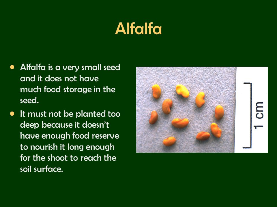 Alfalfa Alfalfa is a very small seed and it does not have much food storage in the seed.