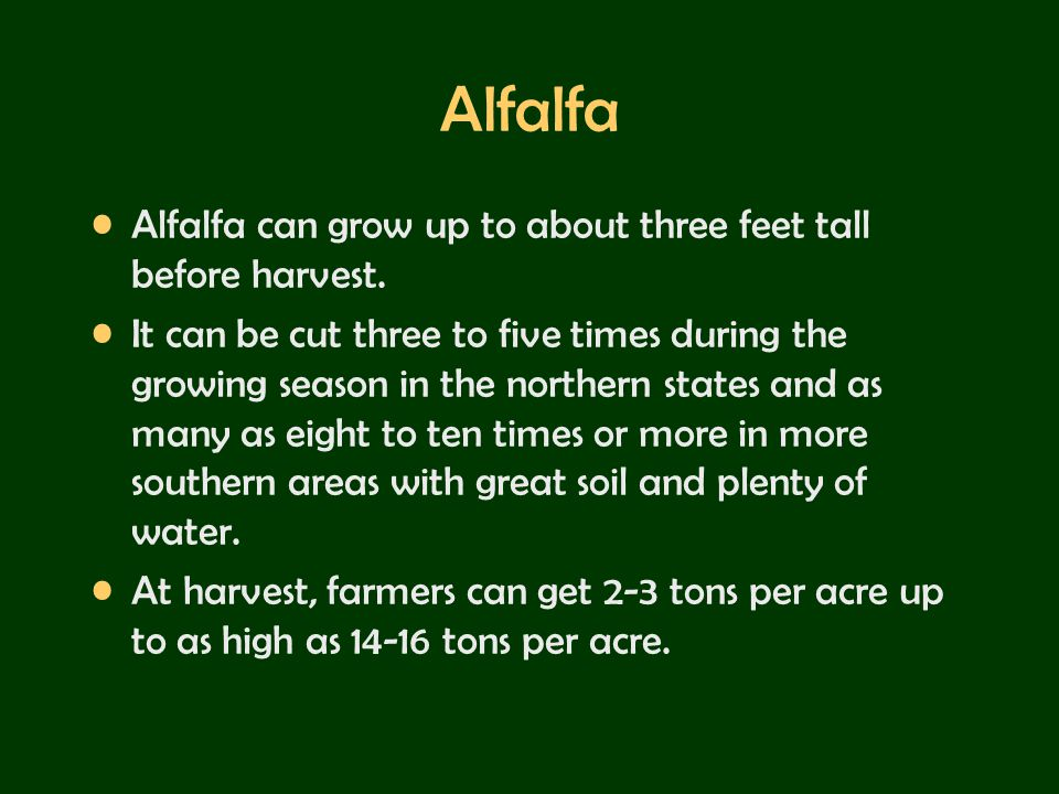 Alfalfa Alfalfa can grow up to about three feet tall before harvest.