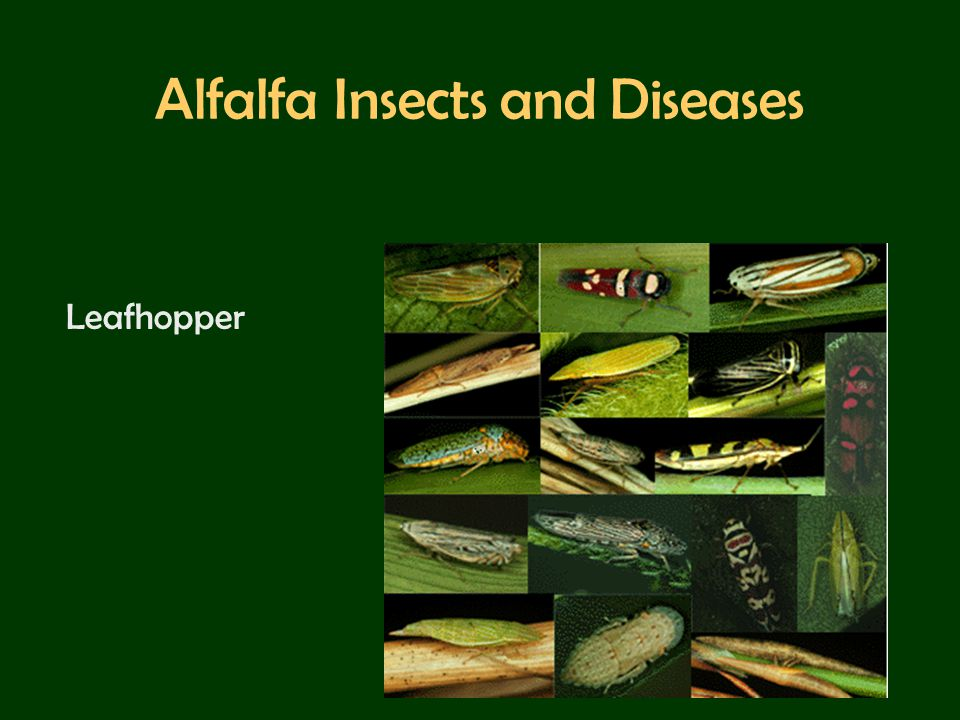 Alfalfa Insects and Diseases