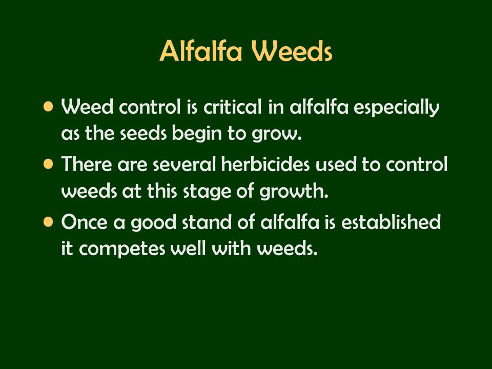 Alfalfa Weeds Weed control is critical in alfalfa especially as the seeds begin to grow.