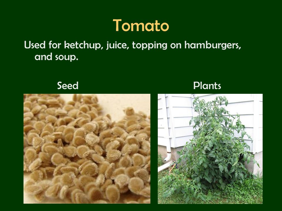 Tomato Used for ketchup, juice, topping on hamburgers, and soup.