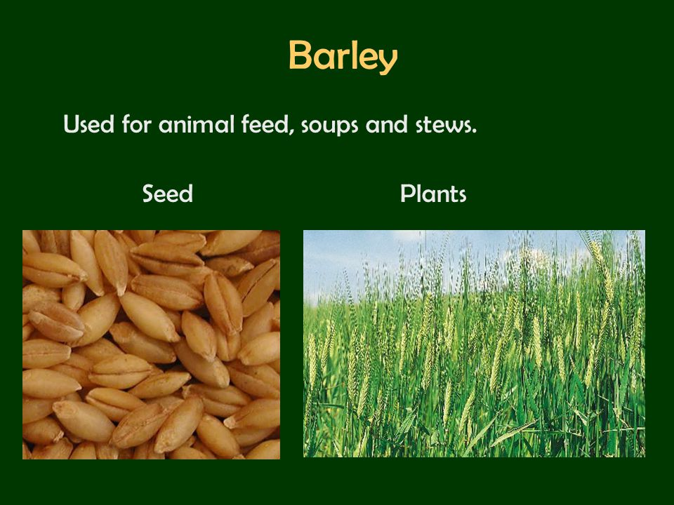 Barley Used for animal feed, soups and stews. Seed Plants