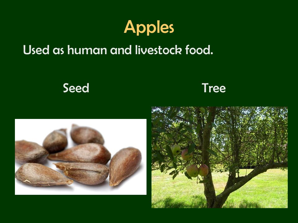 Apples Used as human and livestock food. Seed Tree
