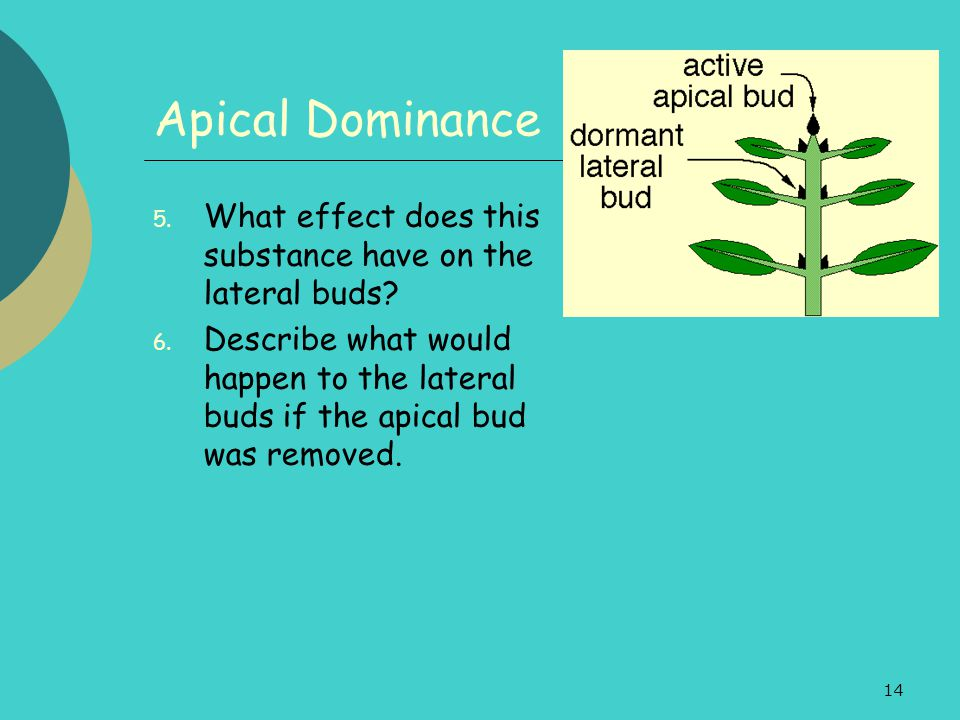 Apical Dominance What effect does this substance have on the lateral buds