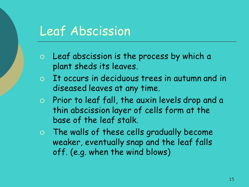 Leaf Abscission Leaf abscission is the process by which a plant sheds its leaves.