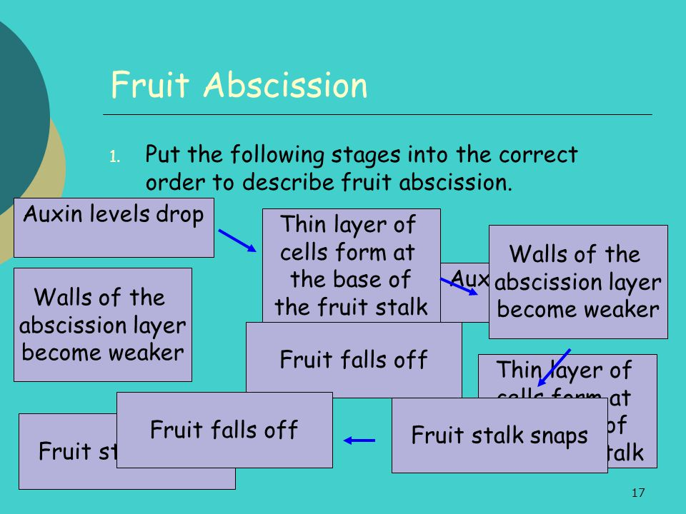 Fruit Abscission Put the following stages into the correct order to describe fruit abscission. Auxin levels drop.