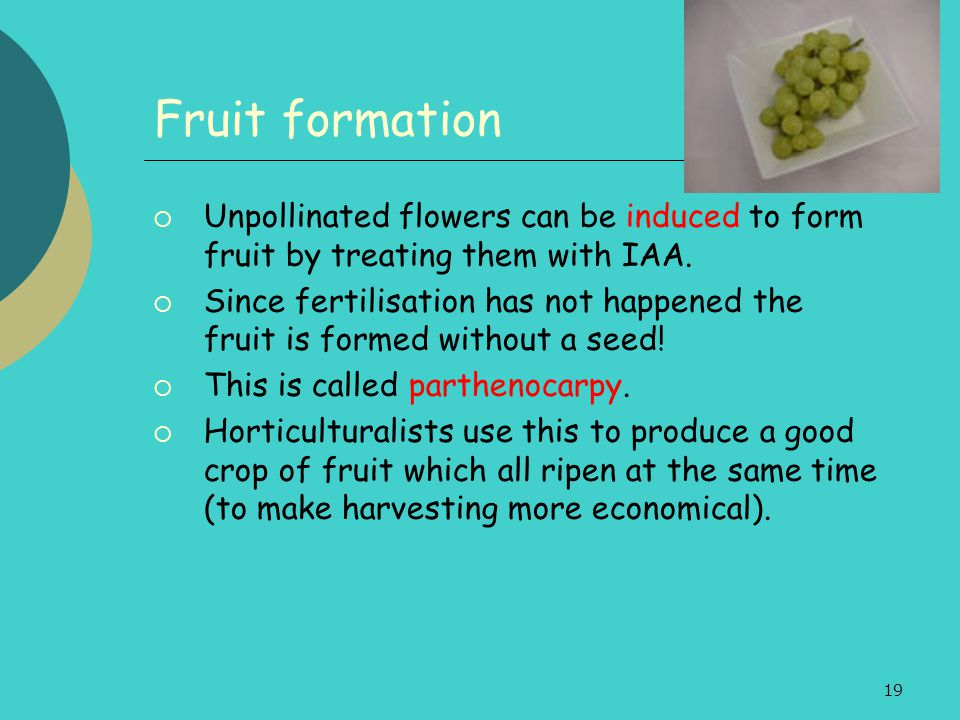 Fruit formation Unpollinated flowers can be induced to form fruit by treating them with IAA.