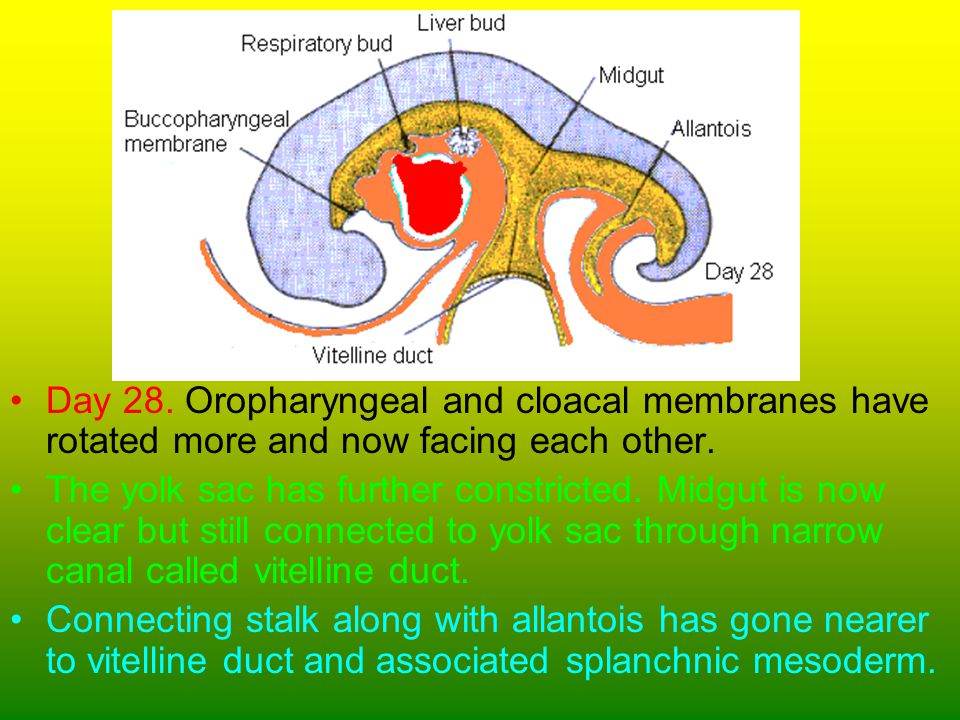 Day 28. Oropharyngeal and cloacal membranes have rotated more and now facing each other.