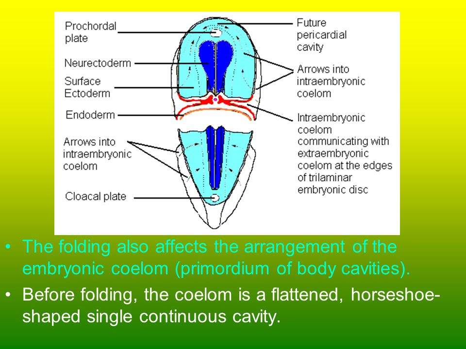 The folding also affects the arrangement of the embryonic coelom (primordium of body cavities).