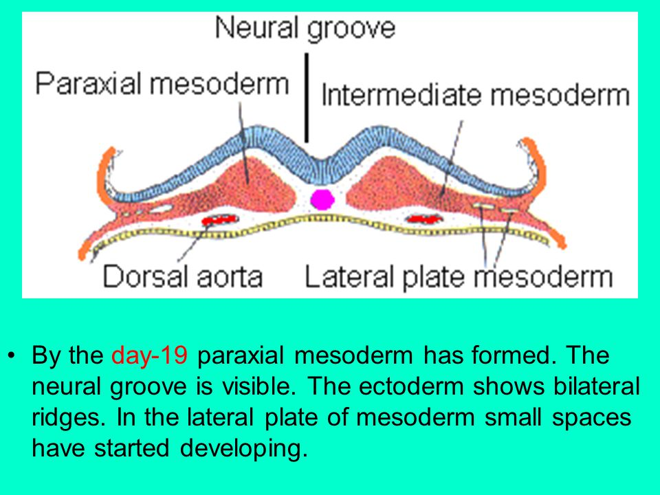 By the day-19 paraxial mesoderm has formed