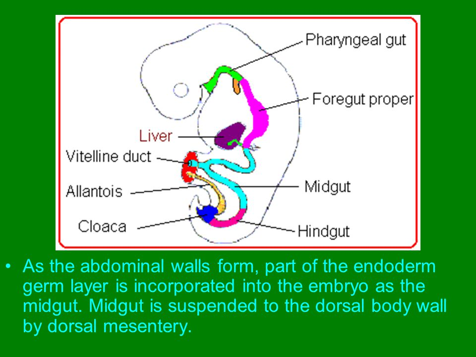 As the abdominal walls form, part of the endoderm germ layer is incorporated into the embryo as the midgut.