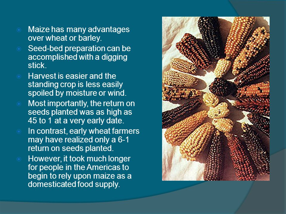 Maize has many advantages over wheat or barley.