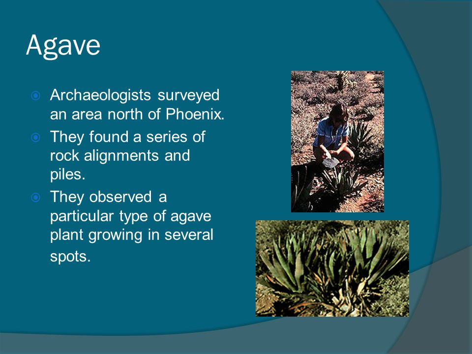 Agave Archaeologists surveyed an area north of Phoenix.
