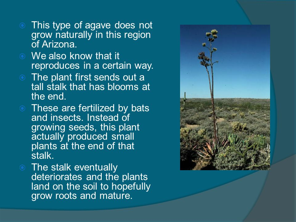This type of agave does not grow naturally in this region of Arizona.