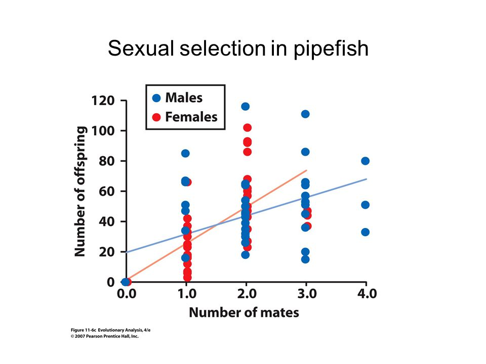 Sexual selection in pipefish
