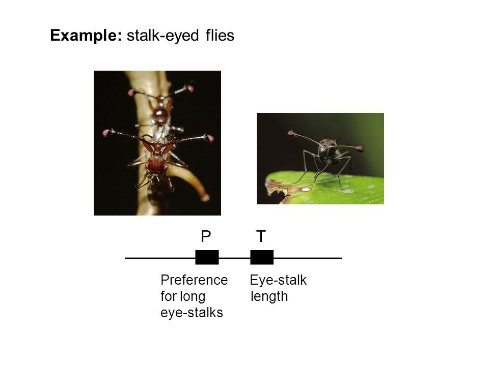 Example: stalk-eyed flies