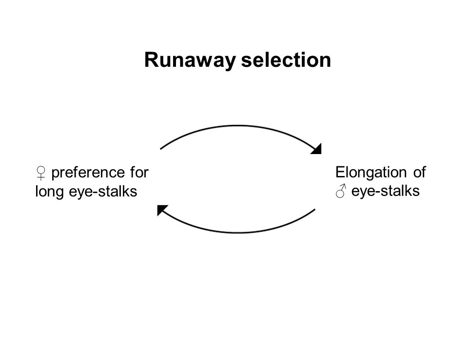 Runaway selection  ♀ preference for long eye-stalks Elongation of