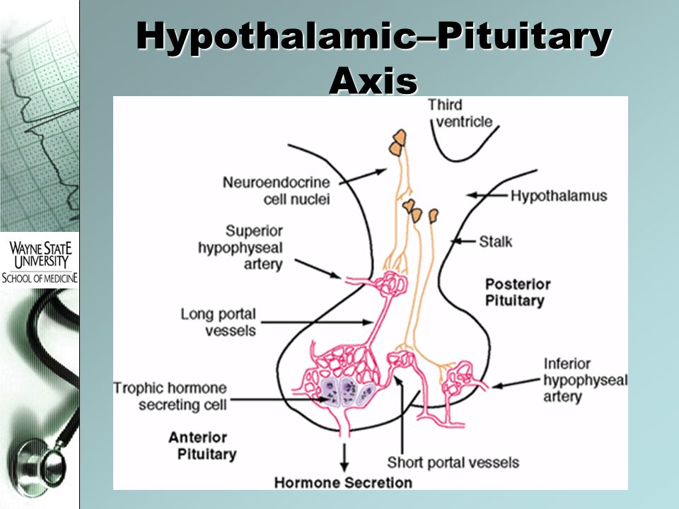 Hypothalamic–Pituitary Axis