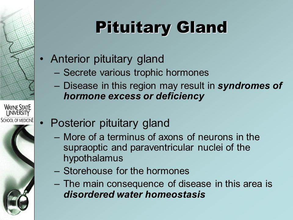 Pituitary Gland Anterior pituitary gland Posterior pituitary gland