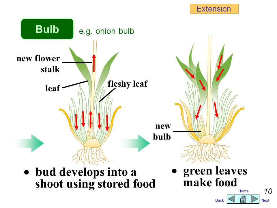  bud develops into a shoot using stored food  green leaves make food