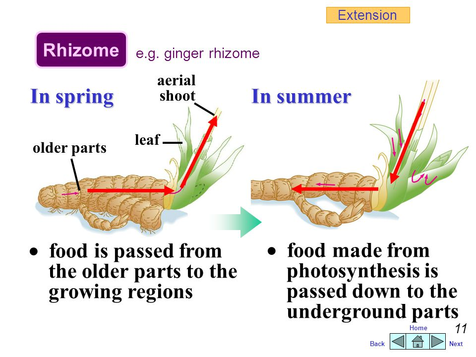  food is passed from the older parts to the growing regions