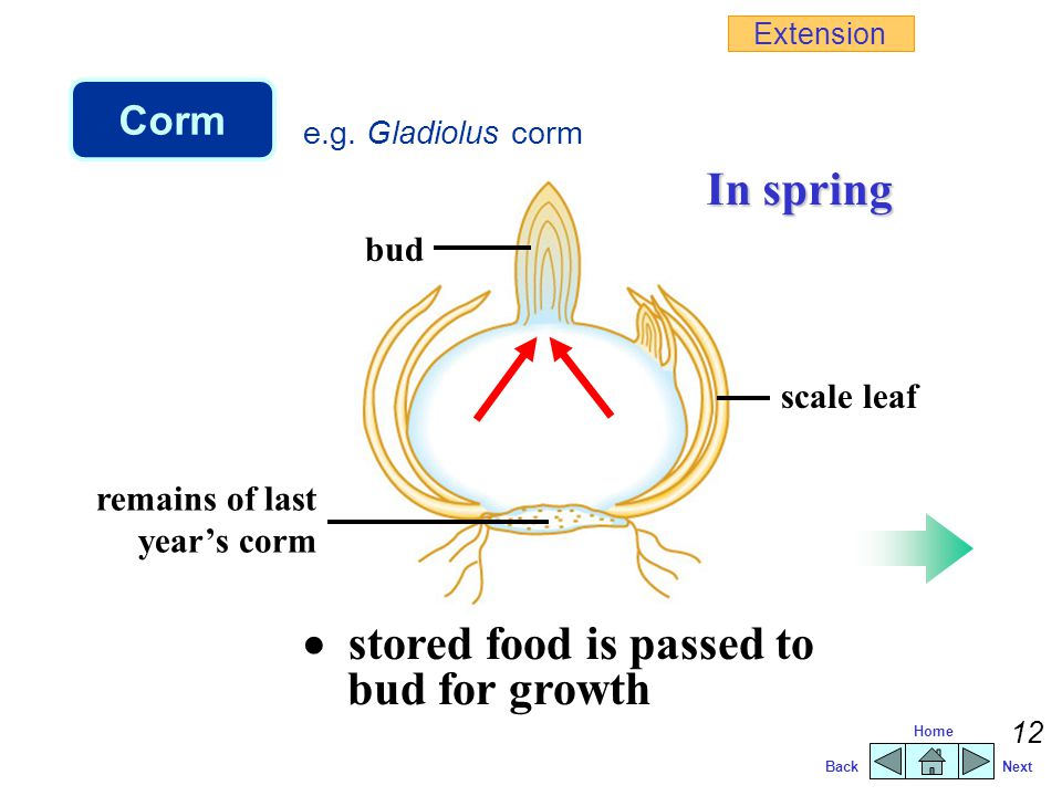  stored food is passed to bud for growth
