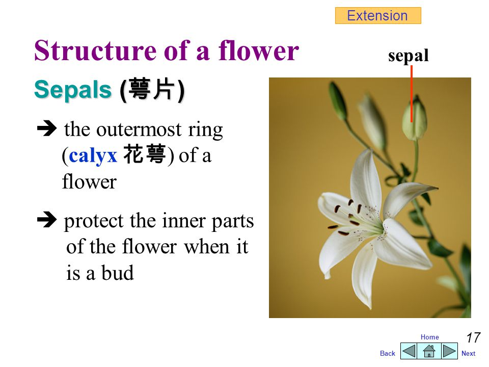 Structure of a flower Sepals (萼片)