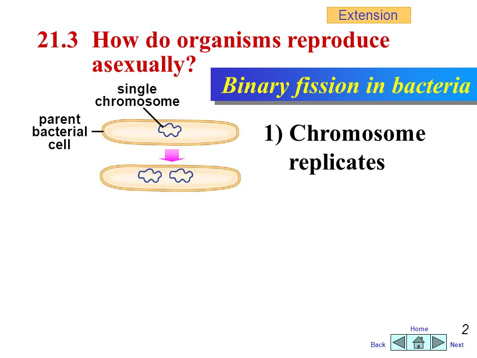21.3 How do organisms reproduce asexually