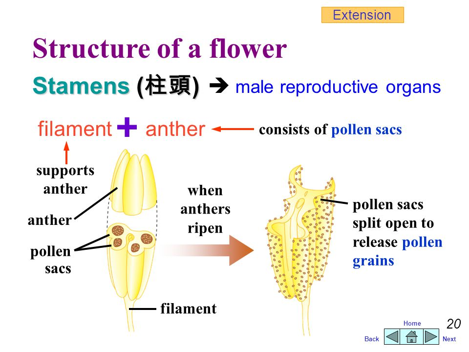 Structure of a flower Stamens (柱頭)  male reproductive organs filament