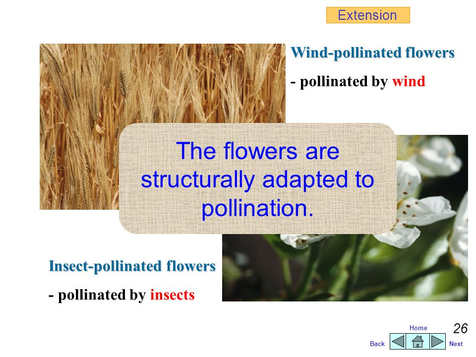 The flowers are structurally adapted to pollination.