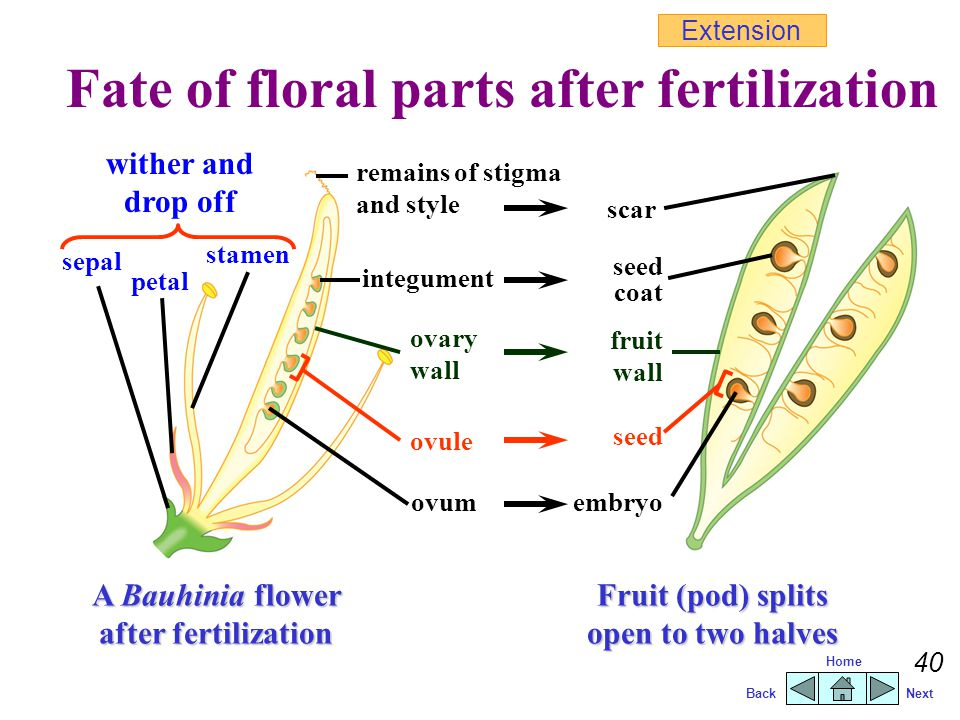 Fate of floral parts after fertilization