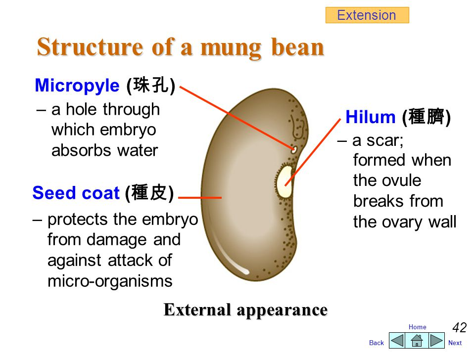 Structure of a mung bean