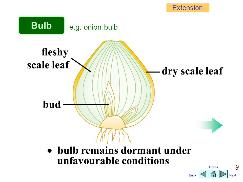  bulb remains dormant under unfavourable conditions