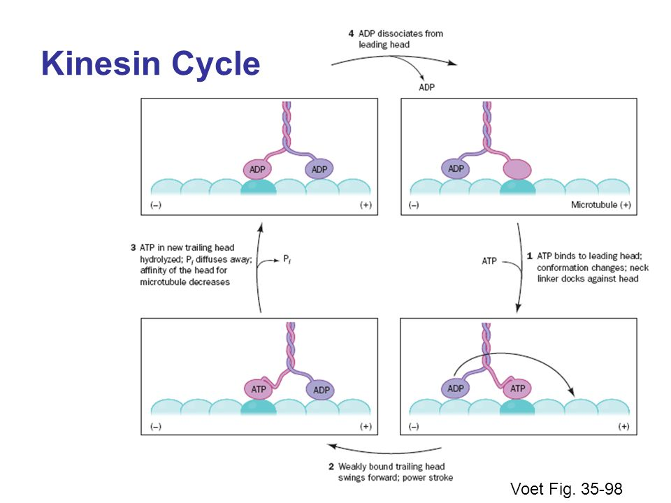 Kinesin Cycle Voet Fig. 35-98
