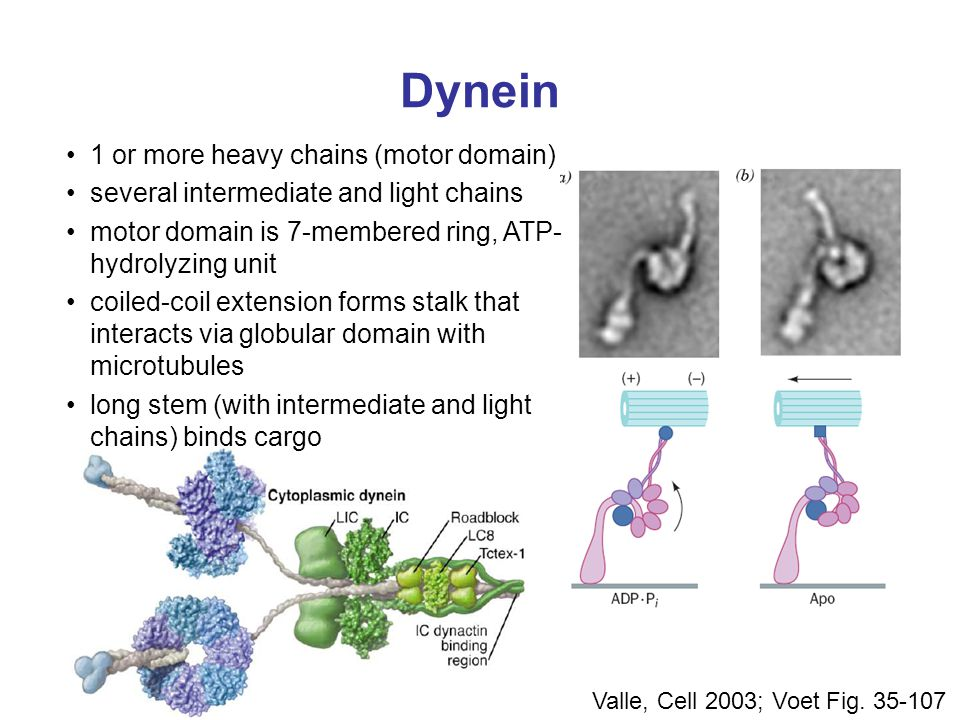 Dynein 1 or more heavy chains (motor domain)