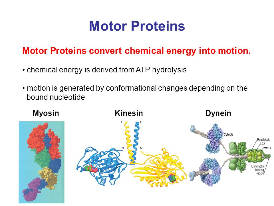 Motor Proteins Introduction Part 1 Ppt Video Online