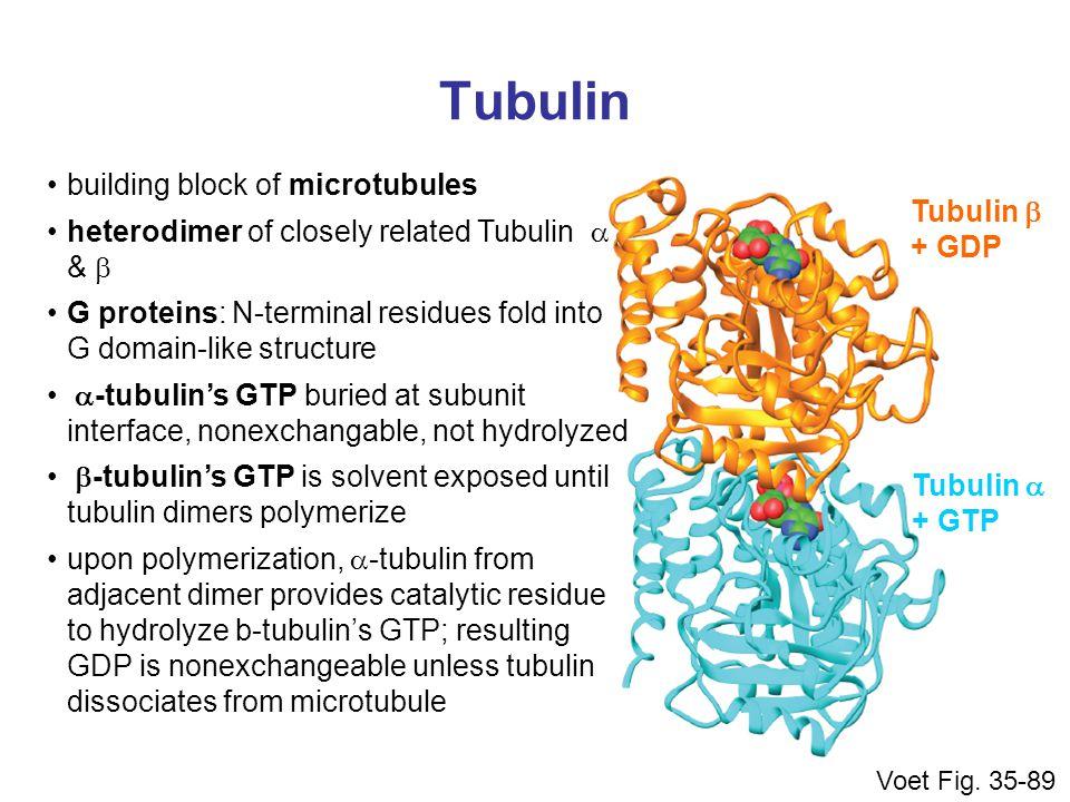 Tubulin building block of microtubules