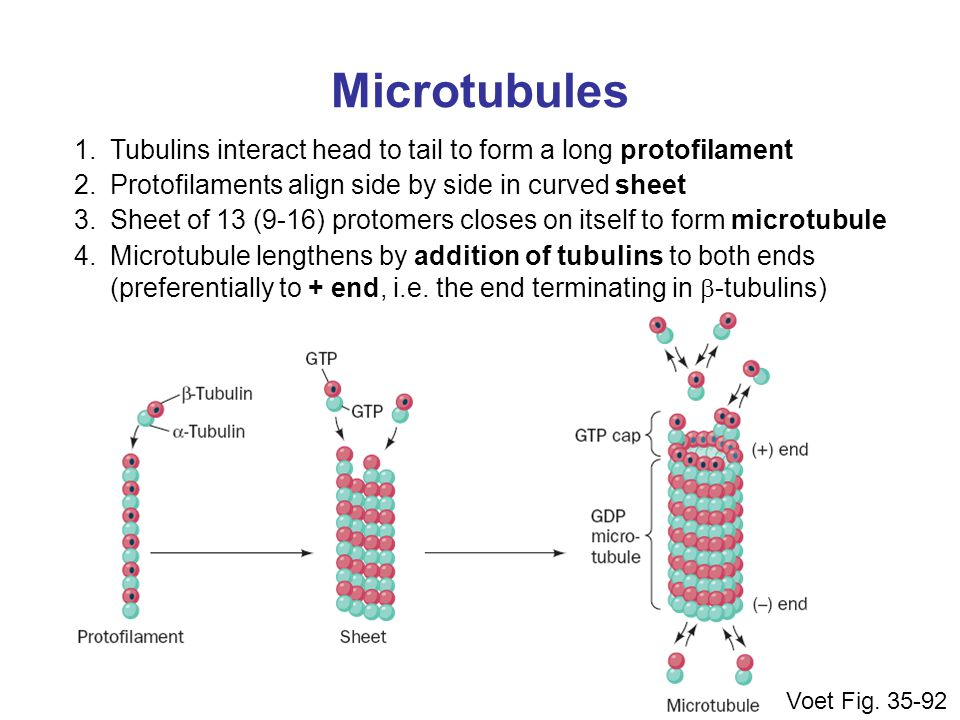 Microtubules Tubulins interact head to tail to form a long protofilament. Protofilaments align side by side in curved sheet.