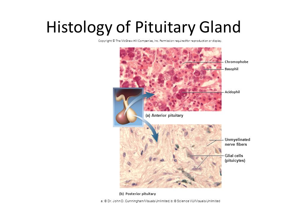 Histology of Pituitary Gland