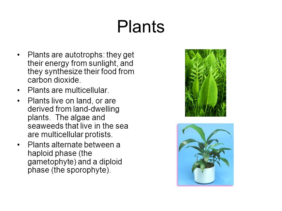 Plants Plants are autotrophs: they get their energy from sunlight, and they synthesize their food from carbon dioxide.