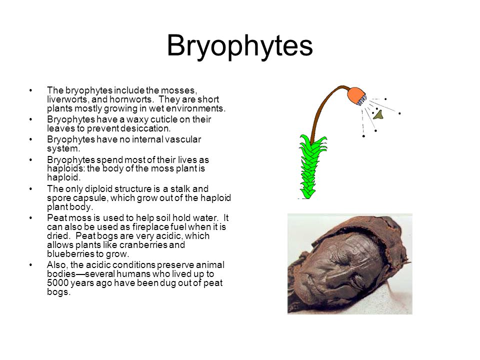Bryophytes The bryophytes include the mosses, liverworts, and hornworts. They are short plants mostly growing in wet environments.