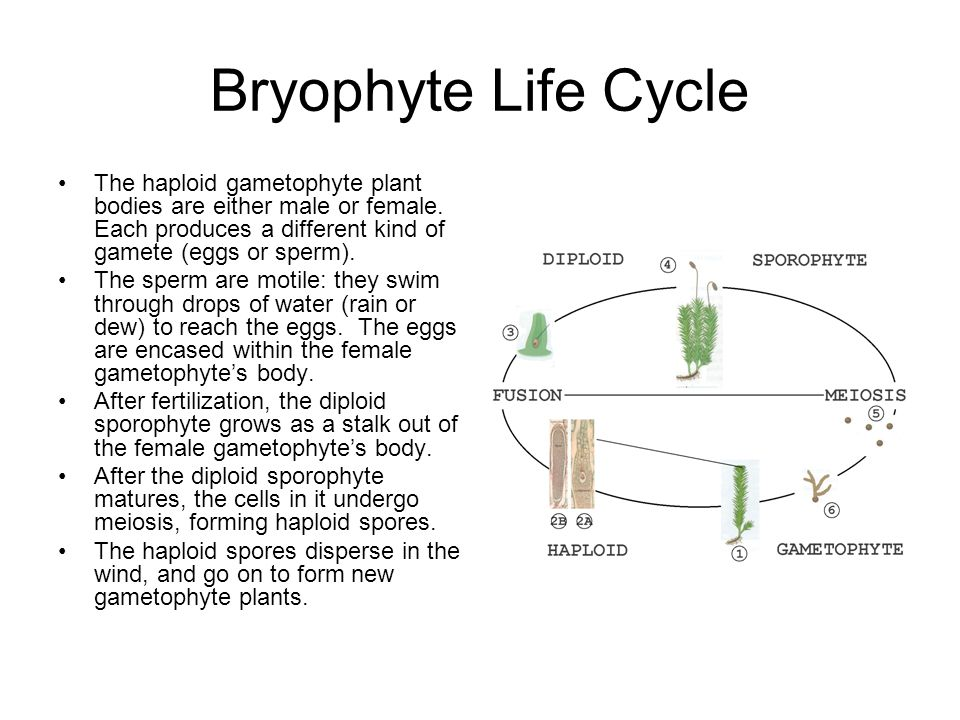 Bryophyte Life Cycle The haploid gametophyte plant bodies are either male or female. Each produces a different kind of gamete (eggs or sperm).