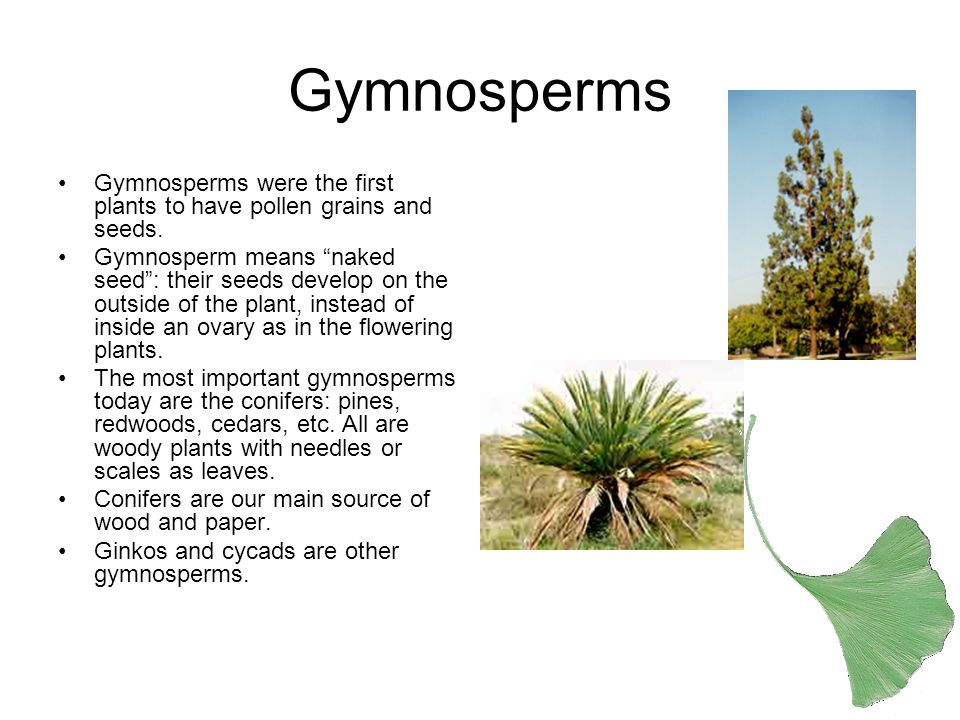 Gymnosperms Gymnosperms were the first plants to have pollen grains and seeds.