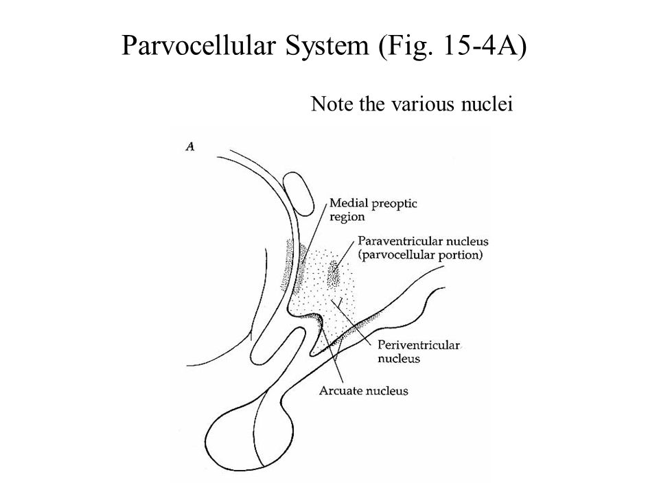 Parvocellular System (Fig. 15-4A)