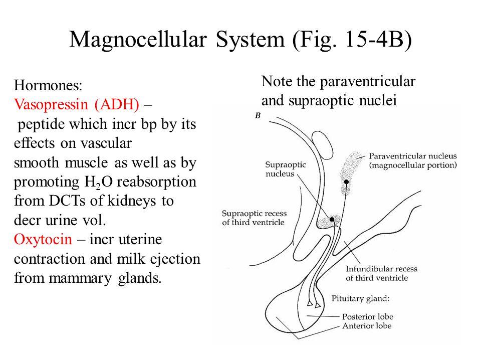 Magnocellular System (Fig. 15-4B)