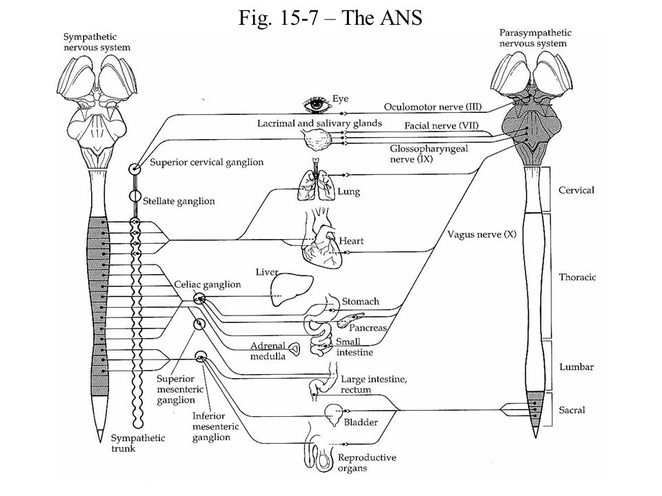 Fig. 15-7 – The ANS
