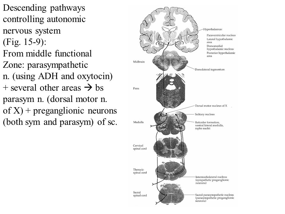 Descending pathways controlling autonomic. nervous system. (Fig. 15-9): From middle functional. Zone: parasympathetic.